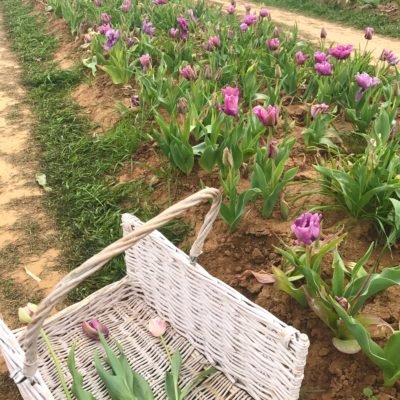 Texas Tulips – Pick Your Own Farm