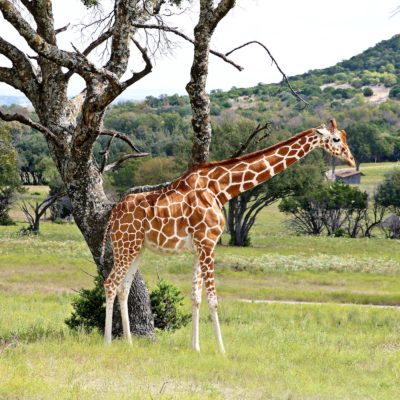 A Day at Fossil Rim Wildlife Center