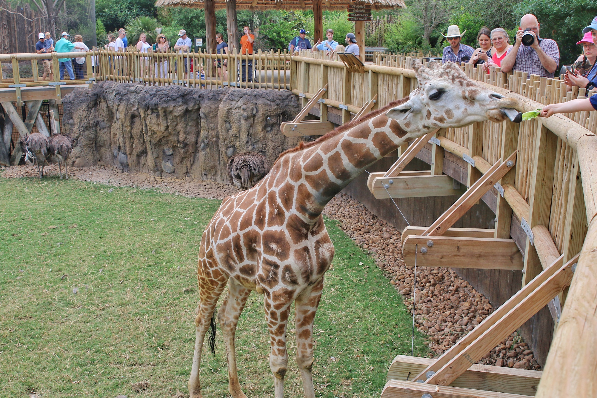 hand feed a giraffe at Fort Worth zoo