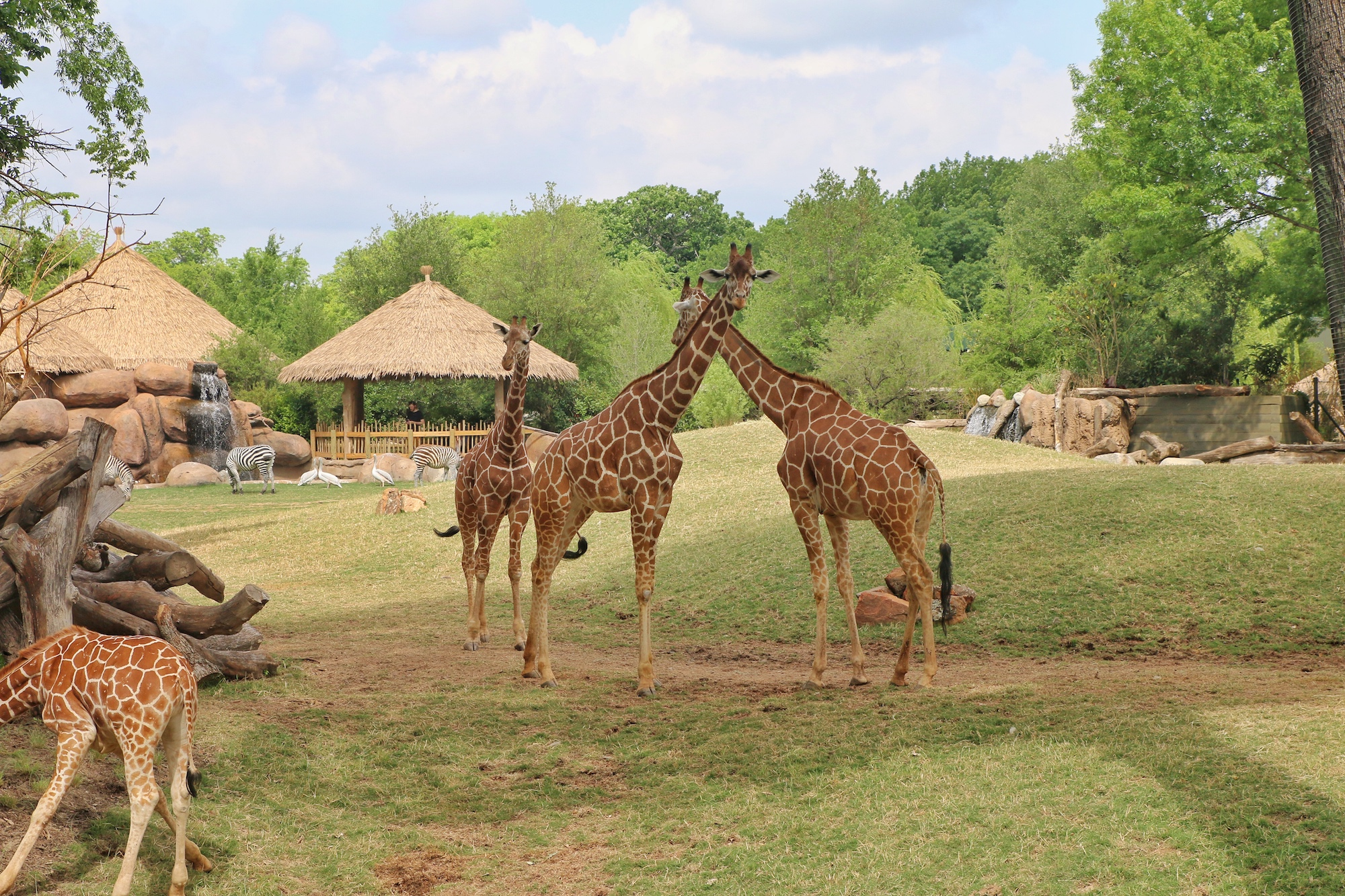 giraffe habitat at Fort Worth zoo