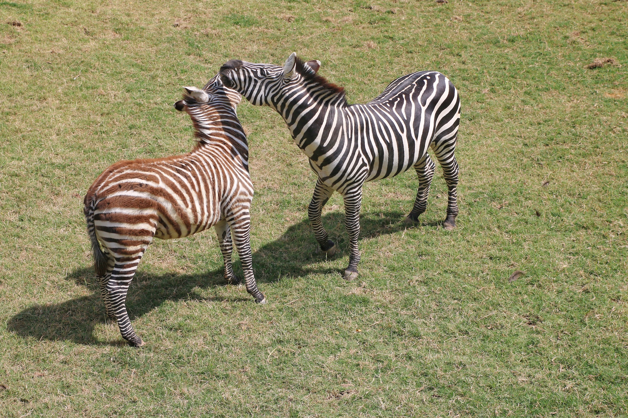 zebras playing at Fort Worth zoo
