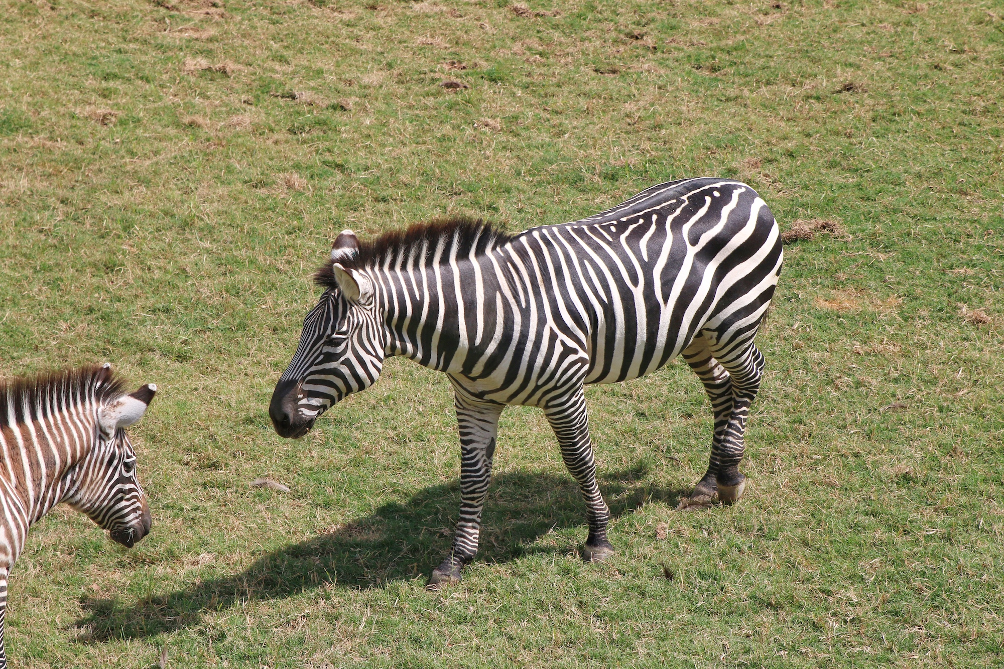 zebra habitat at Fort Worth zoo