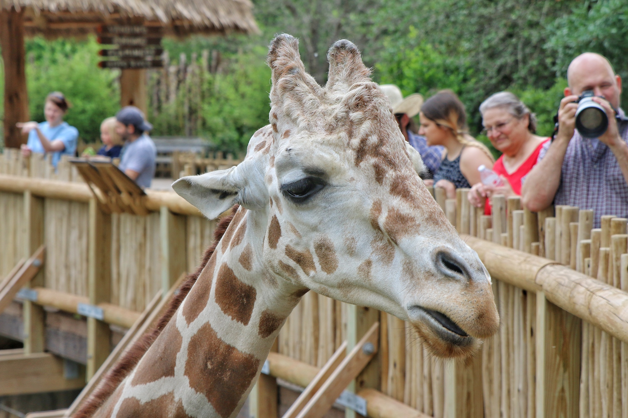 get up close to giraffes at African savanna exhibit