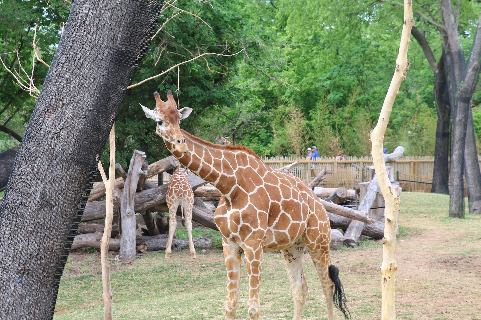 see giraffes roam at Fort Worth zoo