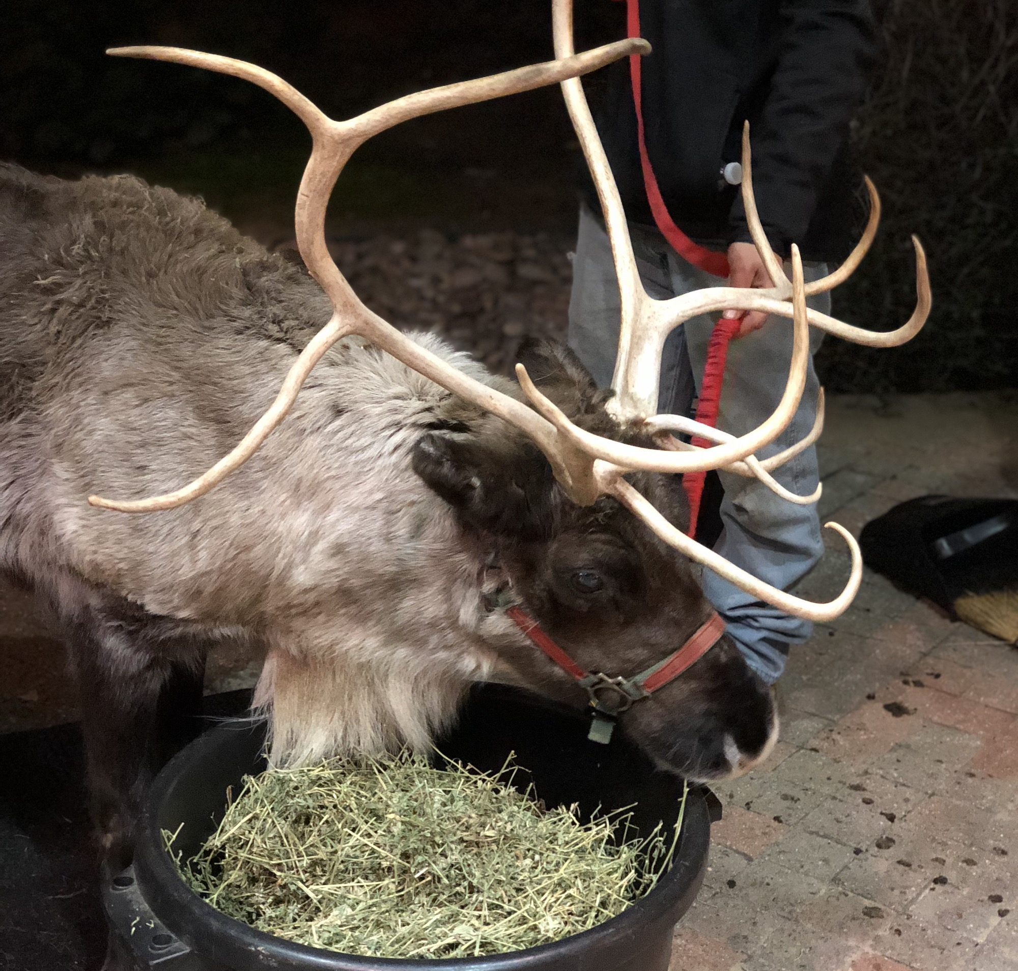 live reindeer at gaylord